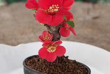 mini bonsai gudhal