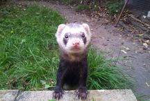 Alcombe Cares for...FERRETS! / Alcombe loves looking after your Fantastic Ferrets