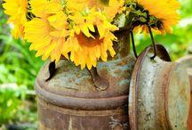 Słoneczniki - kwiaty słońca