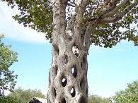 """ÁRBOLES / Variedad de árboles de una belleza singular y colorido, algunos muy vetustos, otros transformados por la """"Madre Naturaleza"""", con formas extrañas y caprichosas, unos más con alteraciones """"Arte"""" por el humano.  Los árboles son vitales para mantener el equilibrio de nuestro ecosistema.  Sigamos plantando y cuidándolos."""