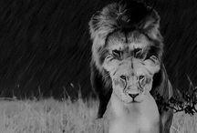 Lion Obsessive ❤️❤️