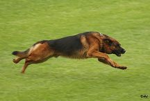 German Shepherd