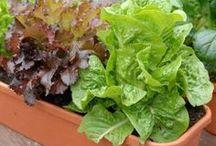 cultivando verduras