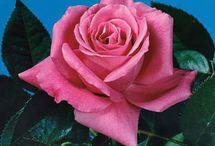 Roses / by P Suzette Orr