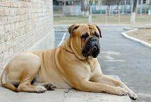 The Bull Mastiff / Bull Mastiff Dogs and Pups