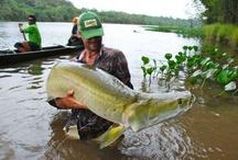 ARAPAIMA / Fly fishing for arapaima.  Arapaima on the fly.