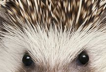 Egels/ hedgehogs
