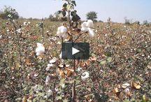Organic Cotton Farms