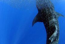 žralok obří
