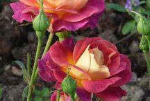 kedvenc rózsák