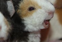Guinea pigs / It is time I had a board devoted entirely to guinea pigs!