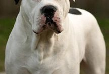 Dogs - american bulldog