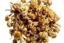 Chamomile | Hope & Glory's Tea of the Month / This smooth, mellow tisane is 100% organic and naturally caffeine free. Only the finest whole chamomile heads have been selected for this infusion, producing a light & delicate brew.