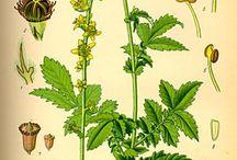 léčivky - herb