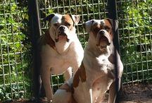 Amerikaans Bulldog / over mijn eigen honden/ouders