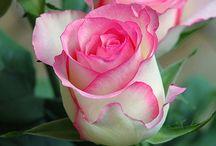 *Green & Flowers* Roses / 育ててみたいバラ