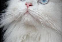 witte katten
