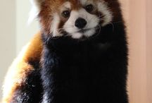 red panda / i want five