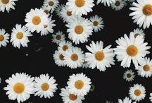 FLOWERS | Daisies