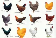 My Little Hens