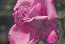 Roses / A selection of gorgeous roses as offered by Florissa!