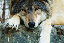 Vlci ❤