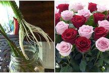 Rózsa  szaporìtása