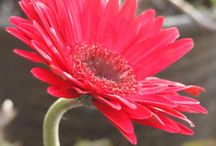 入賞作品:【4月18日はガーベラ記念日】ガーベラのフォトコンテスト 2 / http://greensnap.jp/contest/110