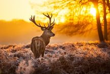 ANIMAL • Deer