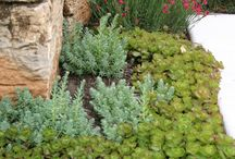 Succulents uses / Ground covering or decorative use.