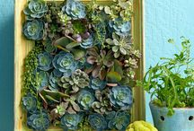 Succulents  / Increasing greatly in popularity, succulents add a unique look and feel to your garden space. Surviving extended periods of drought with water stored in their leaves, they make for low maintenance and gorgeous garden decor!