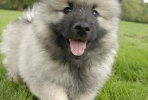 Keeshond love / by Stacy Norris