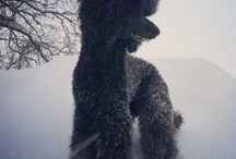 Lifeofmeggie & other Poodles / Our dog - Meggie the standardpoodle and other wonderful poodles