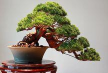 Plant's (Bonsai)