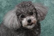AMINALS / My DOg tasha 9yr old toy poodle / by Judy Sharum