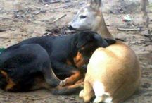Dobermans - With Friends; Relaxing; Pups
