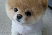 Boo...its Boo! / Meet Boo, the world's cutest dog!
