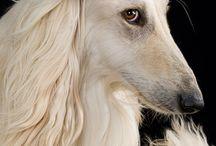 Afhgan hound
