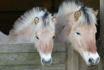Icelandic and Fjords horses