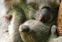 Koala / One of my favourite animal.