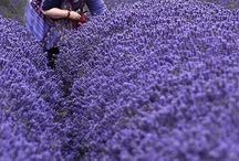 Lavender / by Mary Bellino