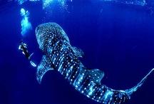 Walvishaai / Whale Shark