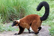 Lemur Island / Lemur Island in the Africa region of the North Carolina Zoo has Red-ruffed and Ring-tailed lemurs.