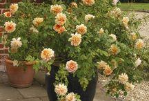 Rosas em vaso