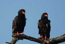 South Africa Birding Tour Photos / http://www.rockjumperbirding.com/tours/destinations/south-africa
