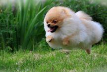 Pomeranians / by Heidi Rucki