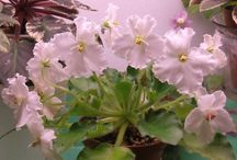 Mac's African violets