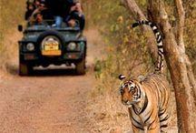 Wildlife safari of Tadoba