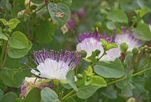 Belangrike plante