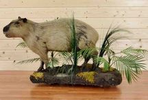 Exotic Taxidermy Mounts / Beautiful and unusual taxidermy animal mounts collected on hunting safaris from around the globe. Many of these species originated in Europe and Asia and were introduced to places such as New Zealand where they have thrived. All wildlife mounts are inspected, cleaned and the taxidermy quality given a rating to help you in making your taxidermy purchasing decision. Just click on visit button for more details, taxidermy ratings and close up photos.
